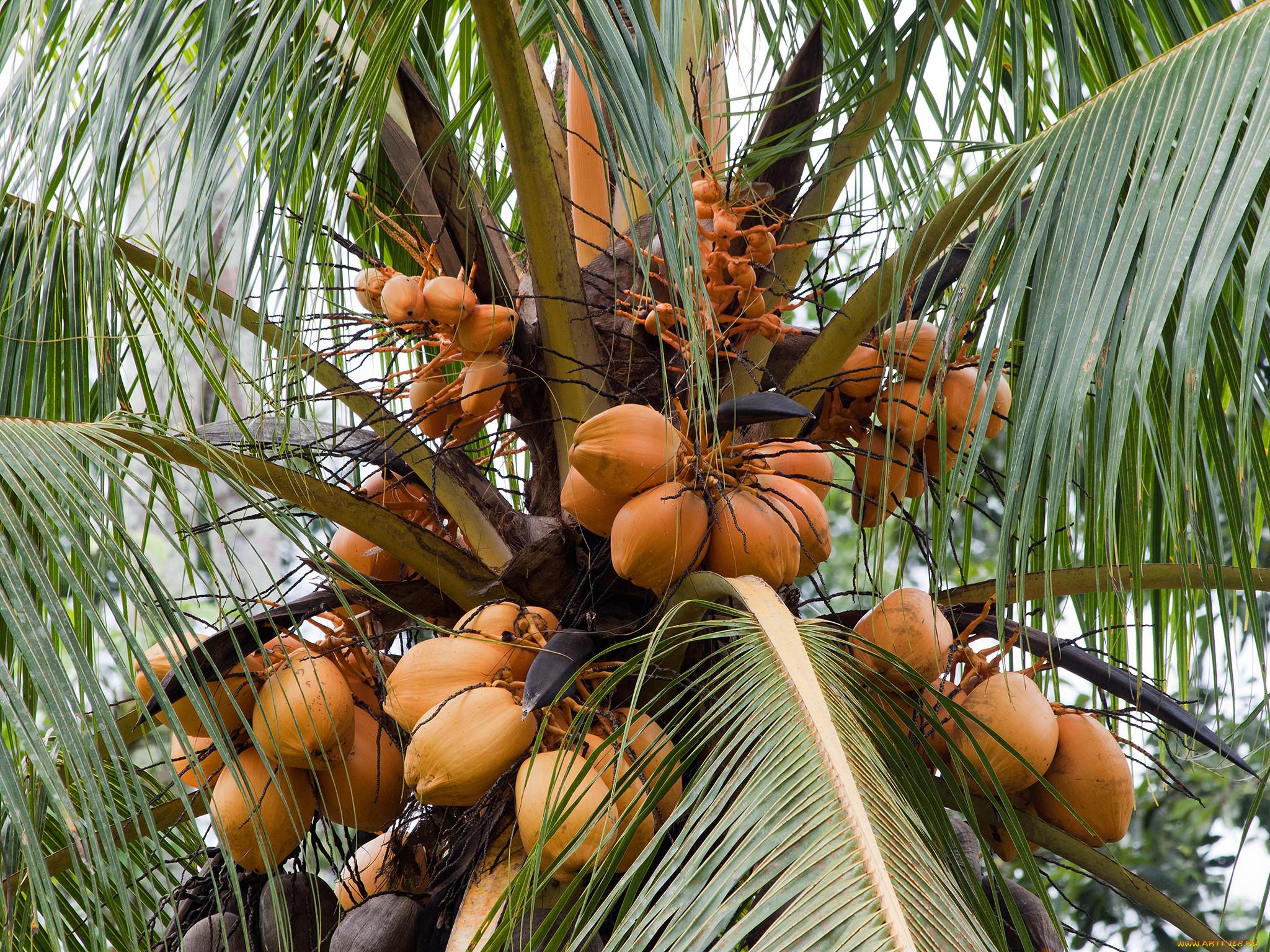 картинки где растут кокосы рекомендуем выбирать модульные